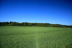Fields And Meadows. An Endless Field Of Wheat Against Clear Blue Sky,Germany royalty free stock photography