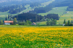 Fields And Meadows. The meadows full of dandelions with samll village in the background stock image