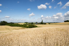 Ripe rye fields, ready to harvest Stock Photography