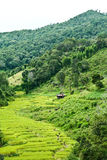 Fields, the mountains. Green rice fields, river and mountains Royalty Free Stock Image