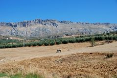 Fields and mountains, Almogia, Andalusia, Spain. Horse grazing in field with El Torcal mountains to rea, Near Almogia, Costa del Sol, Malaga Province, Andalusia Royalty Free Stock Photo