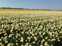 Fields of narcissus in the Netherlands. Fields of narcissus in Keukenhof Netherlands Stock Photography