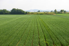 FIelds near Voghera. (Pavia, Lombardy, Italy) at summer stock images