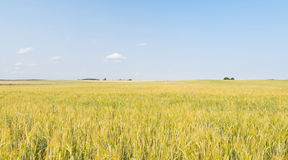 Fields of oats. In polish small village called Lubichowo Stock Photography
