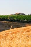 fields oatvvneyards Royaltyfri Foto