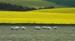 Fields Of Canola Royalty Free Stock Photo