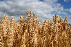 Fields Of Wheat Royalty Free Stock Photos