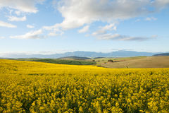 Fields off yellow canola flowers overlooking a valley in South A Royalty Free Stock Photo