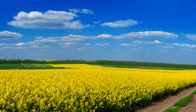 Fields of Oilseed Rape in Bloom. And blue sky Royalty Free Stock Photos