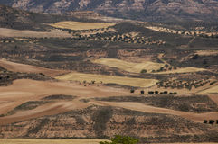 Fields of olive trees. In summer Stock Photos