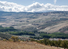 Fields of olives trees Stock Images