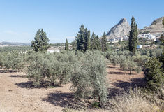 Fields of olives trees Royalty Free Stock Photos