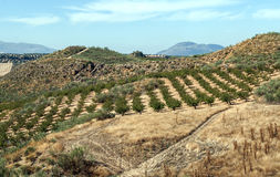 Fields of olives trees Royalty Free Stock Photo