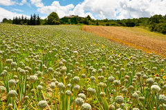 Fields of Onion Royalty Free Stock Image