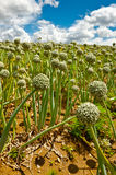 Fields of Onion Royalty Free Stock Photography
