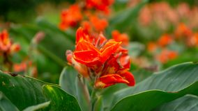 Fields of orange petals of Canna Lily know as Indian short plant or Bulsarana flower blossom on green leaves in a garden royalty free stock photo