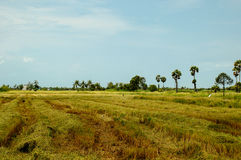 Fields with palm sugar trees Stock Photography