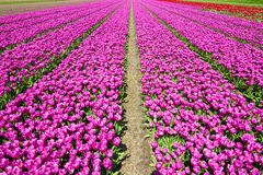 Fields of pink Stock Image