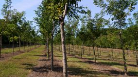 Fields, plantations of Forester`s unique hybrid nut, designed to produce valuable wood, rows of healthy nut trees in
