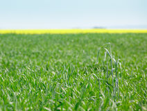 Fields planted with cereals and oilseed rape Stock Photography