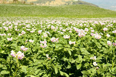 Fields planted with potatoes in bloom stock image