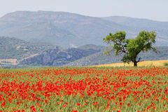 Fields of poppies with and almond tree Royalty Free Stock Image