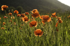 Fields of poppies. Near Somes river Stock Image