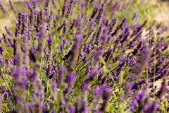 Fields of Provence. Lavender Fields of Provence, France Royalty Free Stock Photography