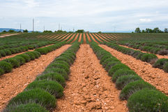 Fields of Provence. Endless rows of lavender fields of the French Provence Stock Photo