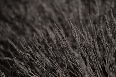 Fields of Provence. Lavender Fields of Provence, France, close-up view Stock Photos