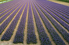 Fields of purple blooming hyacinths in springtime in Holland Royalty Free Stock Image