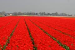 fields röda tulpan Royaltyfria Foton