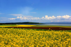 Fields of rape. In springtime Stock Photo