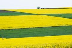 Fields with rape. stock photos