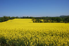 Fields of Rape Seed Stock Image