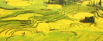 fields rapeseed Стоковое фото RF