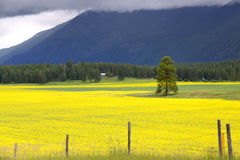 fields rapeseeden arkivbilder