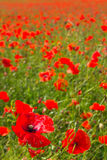 Fields with a red poppy. (portrait Royalty Free Stock Photography