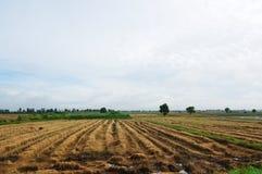 fields rice Fotografering för Bildbyråer
