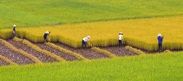 fields rice Royaltyfri Bild