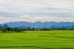 fields rice Royaltyfri Foto