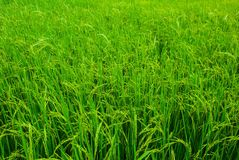 Fields. Of rice Stock Image