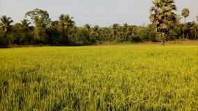 Fields. A rice field in Puttur, India Stock Photo