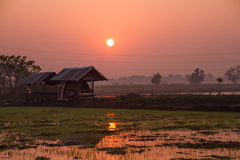 Fields during the rice season Royalty Free Stock Images