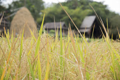 Fields of rice straw hut blurred background Stock Images
