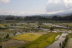 fields rice sulawesi Royaltyfria Foton