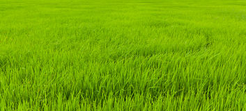 fields rice thailand Royaltyfri Fotografi