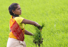 fields ricekvinnan arkivfoton