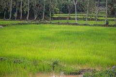 fields ricetrees Växtträd i risfältfält Himlen är ingen Royaltyfri Foto
