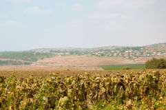 Fields of ripe sunflowers under Ierusaimom  . Israel . Stock Photography